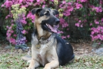 Dana Coin's German Shepherd 'Hope', she was a rescue puppy from Southern Cross GSD network and she is a blessing for